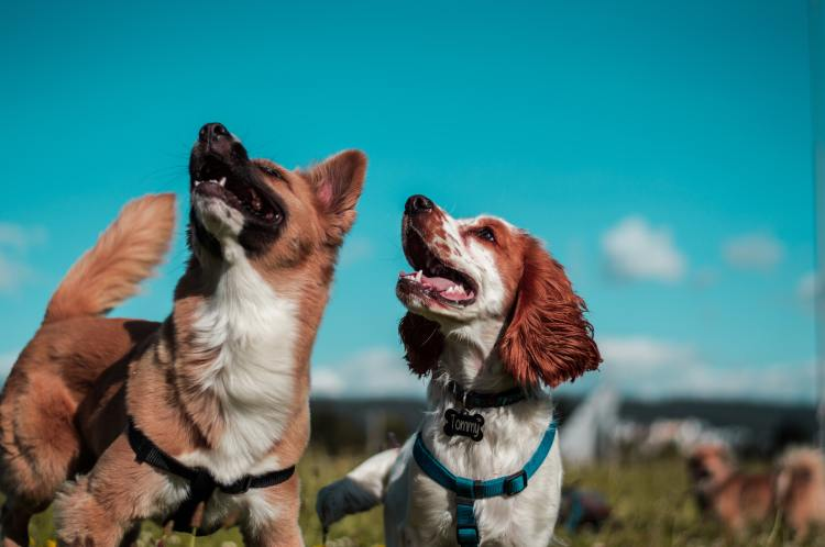Two dogs looking up with blue sky background